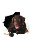 Chiot de Labrador piaulant hors d'un trou dans le livre blanc Images stock
