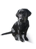 Chiot de labrador retriever d'isolement sur le blanc Photos libres de droits
