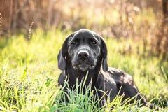 Chiot de labrador retriever dans l'herbe verte Images libres de droits