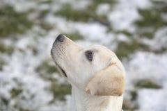Chiot de labrador retriever dans la cour l'hiver regardant la gauche Image libre de droits