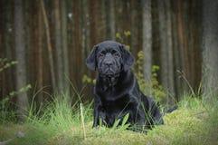 Chiot de labrador retriever dans le jardin Images stock
