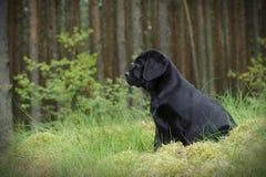 Chiot de labrador retriever dans le jardin Photos stock