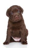 Chiot de labrador retriever de chocolat, portrait Photographie stock