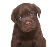 Chiot de labrador retriever, portrait Photo stock
