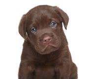 Chiot de labrador retriever, portrait Photo stock