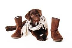 Chiot de Labrador utilisant une écharpe avec des bottes mâchant l'écharpe de bord dessus Photographie stock