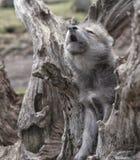chiot de loup d'hurlement photo stock
