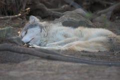 Chiot de loup gris de sommeil. image stock