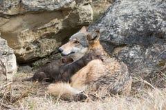 Chiot de loup se reposant sur la mère Images libres de droits