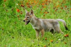 Chiot de loup vigilant dans un domaine des wildflowers oranges Images stock