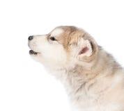 Chiot de malamute d'Alaska d'hurlement dans le profil D'isolement sur le blanc Images stock