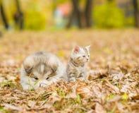 Chiot de malamute d'Alaska et chaton écossais ensemble dans la PA d'automne Photo stock