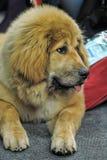 Chiot de Mastiff tibétain Photos stock