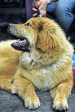 Chiot de Mastiff tibétain Images libres de droits