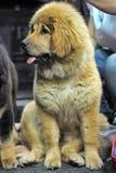 Chiot de Mastiff tibétain Photographie stock libre de droits