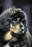 Chiot de Mastiff tibétain Images stock