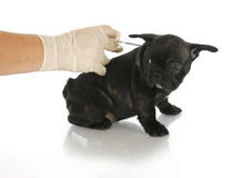Chiot de Microchipping Photographie stock