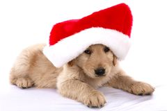 Chiot de Noël Photo stock