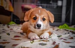 Chiot de pembroke de corgi photo stock