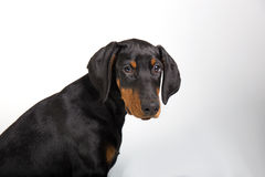 Chiot de Pincher de dobermann Photos stock