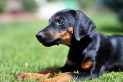 Chiot de Pinscher de dobermann Images stock