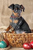Chiot de Pinscher miniature Photo libre de droits