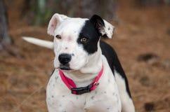 Chiot de Pit Bull Terrier Photo stock