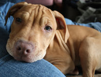 Chiot de pitbull Photo stock