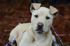Chiot de Pitbull, photographie d'adoption de délivrance d'animal familier Photographie stock