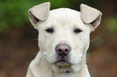 Chiot de Pitbull, photographie d'adoption de délivrance d'animal familier Image stock
