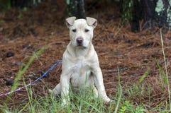Chiot de Pitbull, photographie d'adoption de délivrance d'animal familier Images stock