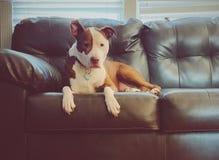 Chiot de pitbull s'étendant sur le divan images libres de droits