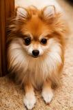 Chiot de Pomeranian à la maison images libres de droits