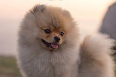 Chiot de Pomeranian Image stock