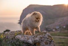 Chiot de Pomeranian Photographie stock libre de droits