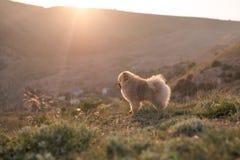 Chiot de Pomeranian Photo stock