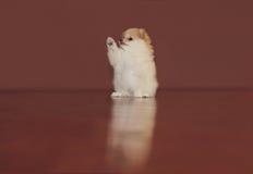 Chiot de Pomeranian Photos libres de droits