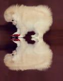Chiot de Pomeranian Photos stock