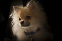 Chiot de Pomeranian Image libre de droits