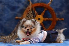 Chiot de Pomeranian photo libre de droits