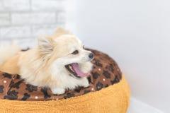 Chiot de Pomeranian baîllant sur un lit Images libres de droits