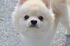 Chiot de Pomeranian tenant et regardant l'appareil-photo Photo libre de droits