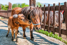 Chiot de poney avec la maman Photographie stock