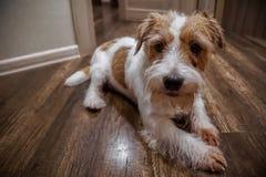 Chiot de pure race d'une chevelure dur de Jack Russel Terrier se reposant et attendant d'intérieur Fond foncé photographie stock libre de droits