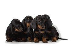 Chiot de quatre teckels se reposant ensemble et regardant dans diff?rentes directions D'isolement sur le fond blanc photographie stock