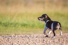 Chiot de Rat terrier de grognement photographie stock libre de droits