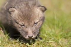 Chiot de renard rouge Photo libre de droits