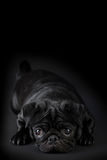 Chiot de roquet avec les cheveux noirs d'isolement Image libre de droits