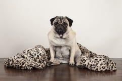 Chiot de roquet s'asseyant sur le plancher en bois avec la couverture brouillée d'impression de léopard Photographie stock