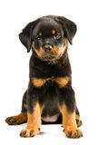 Chiot de Rottweiler Photo stock